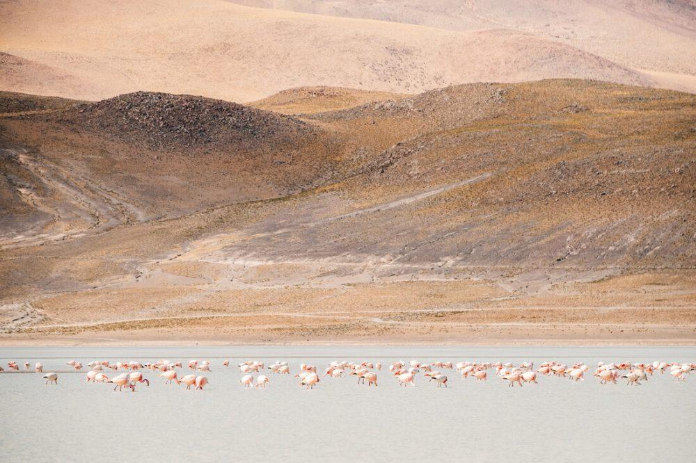Flamingos in the Andes von Felix Dorn