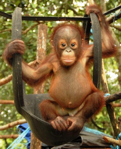 the orangutan Miko