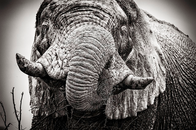 'Portrait of a white elephant' von Franzel Drepper
