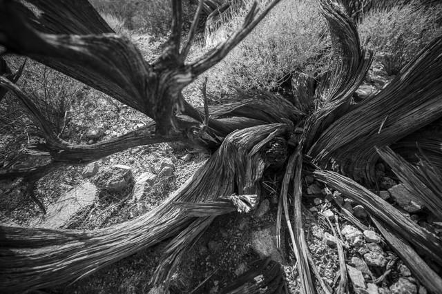 Dead Tree, Joshua Tree National Park von Jakob Berr